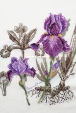 Veronique Enginger Etudes Botanique-İris