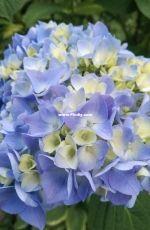 Beautiful blue peony